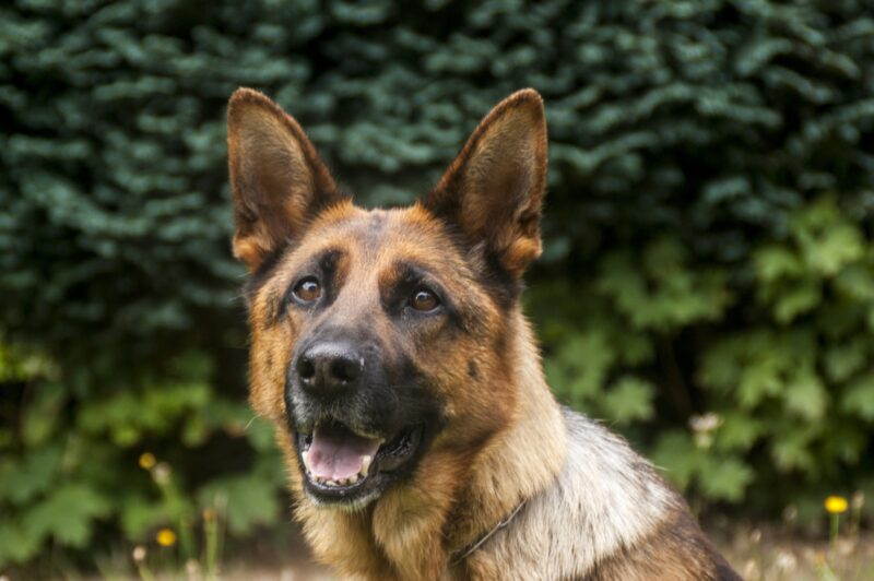 Drug detecting dogs are amazing, highly-trained canines. Learn more in this guide featuring 10 fascinating drug sniffing dog facts.