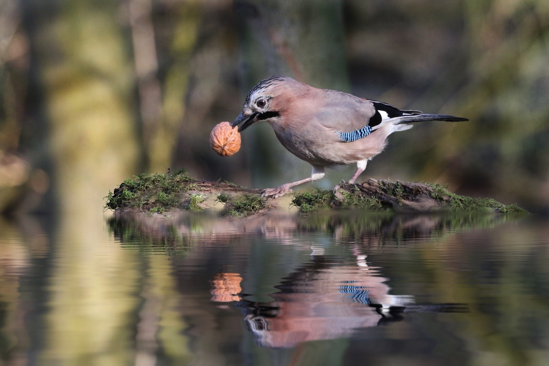 The meaning behind seeing a blue jay